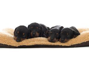 dierenfotografie puppies